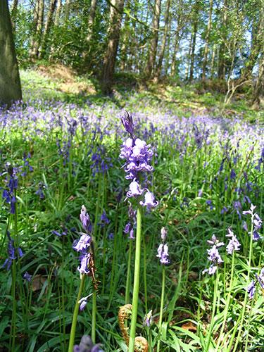 Burton Woods flowers