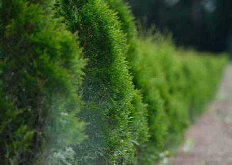 row of hedges
